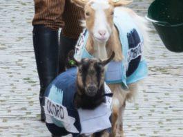 chèvres course